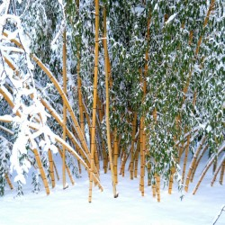 Graines de Bambou Géant Madaké (Phyllostachys bambusoides) 1.95 - 2