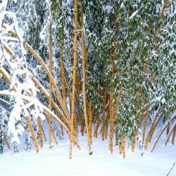 Madake, Giant Drveni Bambus Seme (Phyllostachys bambusoides) 1.95 - 2