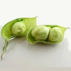 Chickpea Seeds (Cicer arietinum) 1.85 - 1