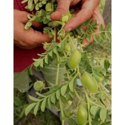 Chickpea Seeds (Cicer arietinum) 1.85 - 3