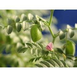 Chickpea Seeds (Cicer arietinum) 1.85 - 4