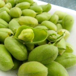 Chickpea Seeds (Cicer arietinum) 1.85 - 6