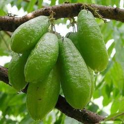 Gurka träd frön, Bilimbi (Averrhoa bilimbi) 3.5 - 7