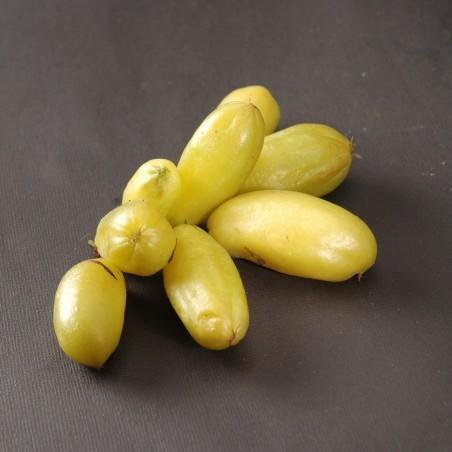 Bilimbi, Cucumber Tree Seeds (Averrhoa bilimbi) 3.5 - 1
