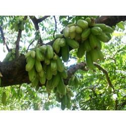 Bilimbi Samen, Gurkenbaum (Averrhoa bilimbi) 3.5 - 3