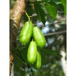 Bilimbi, Cucumber Tree Seeds (Averrhoa bilimbi) 3.5 - 4