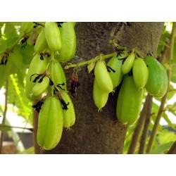 Bilimbi, Cucumber Tree Seeds (Averrhoa bilimbi) 3.5 - 5