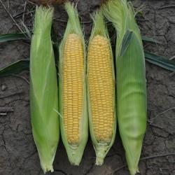 Золотой Bantam сладкой кукурузы Семена 1.8 - 2