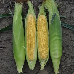 Golden Bantam Sweet Corn Seeds 1.8 - 2