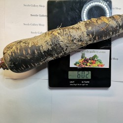 Sementes de Cenoura Gigante Purple Dragon 1.55 - 4