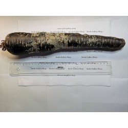 Giant Carrot Seeds Purple Dragon 1.55 - 5