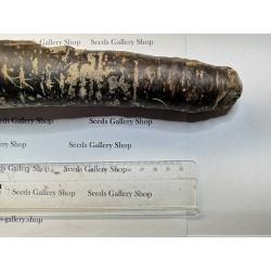 Sementes de Cenoura Gigante Purple Dragon 1.55 - 6