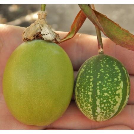 Maulbeerblättrige Passionsblume Samen 1.7 - 1