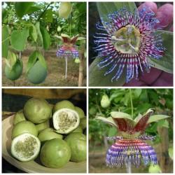 Hristov Venac Seme Passiflora maliformis 1.7 - 2