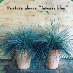 Blue Grass Seeds Festuca Glauca Intense Blue 1.85 - 8