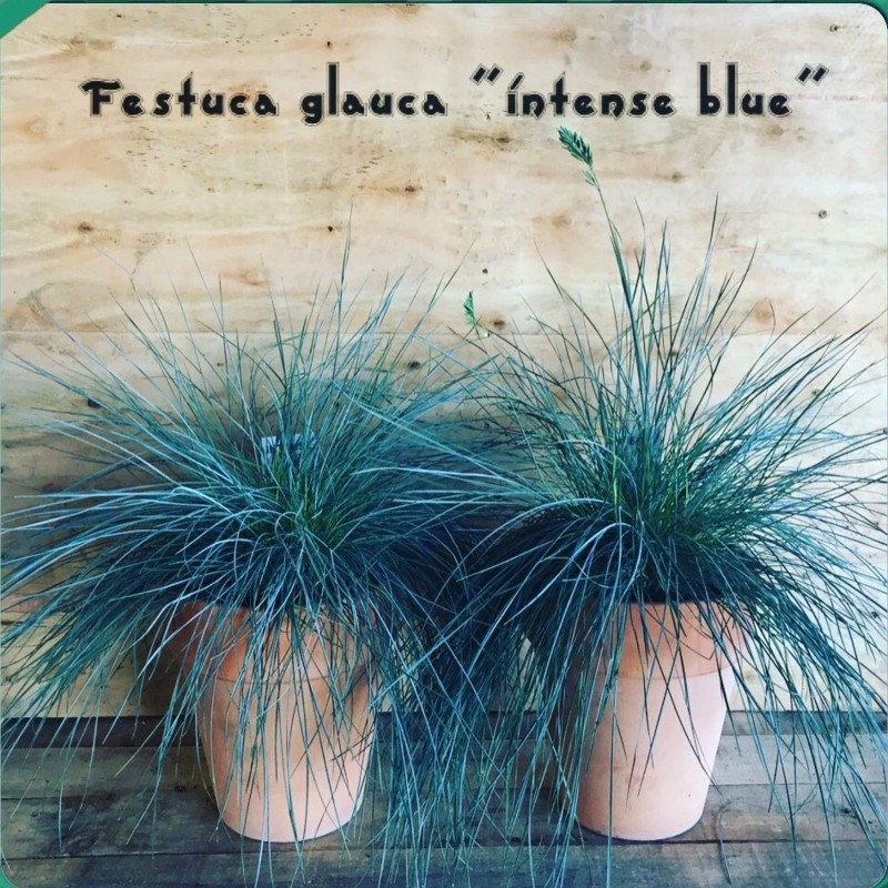 Blåsvingel Växt Frön (Festuca glauca) 1.85 - 8