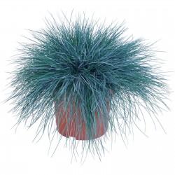 Blue Grass Seeds Festuca Glauca Intense Blue 1.85 - 6