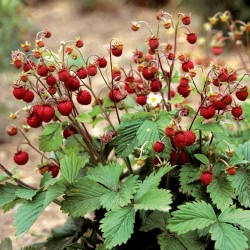 Wild Strawberry Seeds ''RUGIA'' (Fragaria vesca) 2.5 - 1
