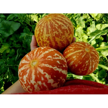 Armenian Tigger Melon Seeds 2.95 - 5