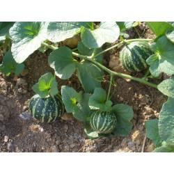 Armenian Tigger Melon Seeds 2.95 - 6