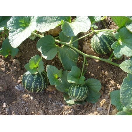 Armenische Tiger Melone BIO Samen 2.95 - 6