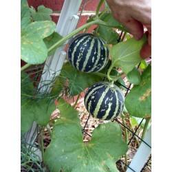 Graines Melon tigre (Melon d'Arménie) 2.95 - 7