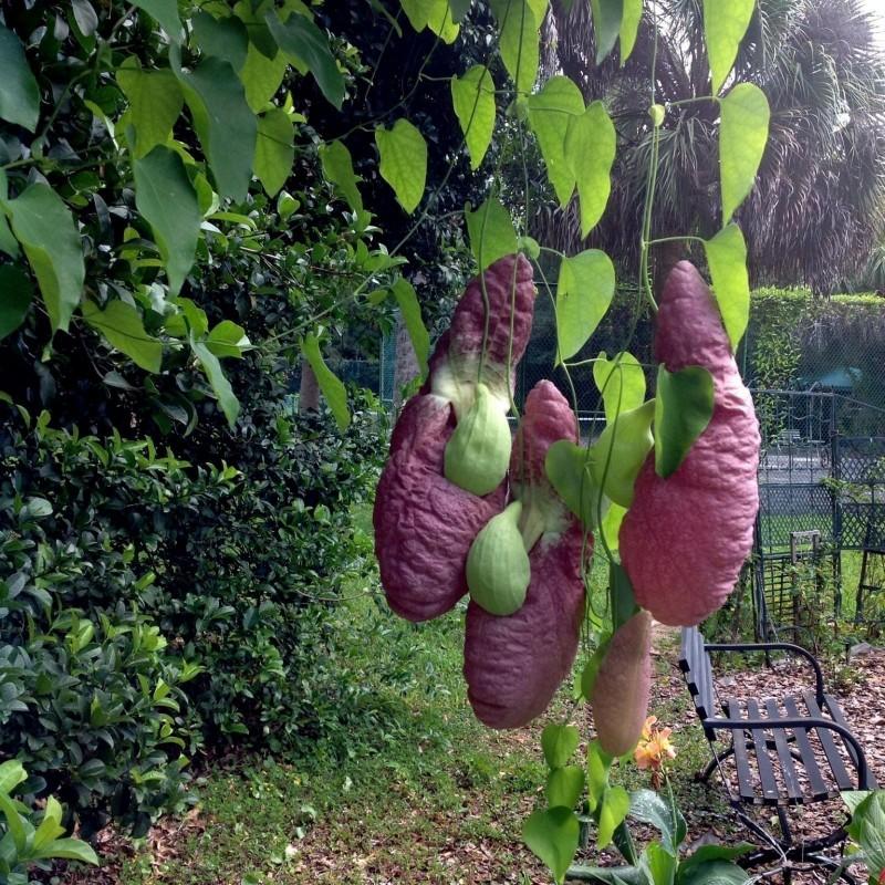 Graines de Aristoloches (Aristolochia gigantea) 2.45 - 10