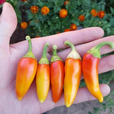 Hot Chilli Pepper Seeds SANTA FE GRANDE - GUERO 1.55 - 5
