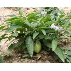Дынная груша, Пепино, Сладкий огурец семена 2.55 - 5