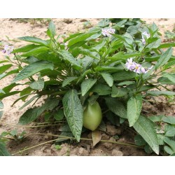 Semillas de Pepino dulce (Solanum muricatum) 2.55 - 5