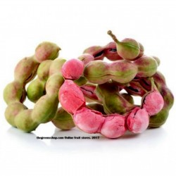 Monkeypod  - Manila tamarind Seeds (Pithecellobium dulce) 2.5 - 15