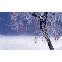 Sharon Frucht - Kaki Pflaume Samen Winterhart 3.55 - 4
