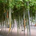 Broccoli Ramoso Calabrese Seeds
