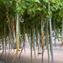 SNAKE GOURD Seeds...