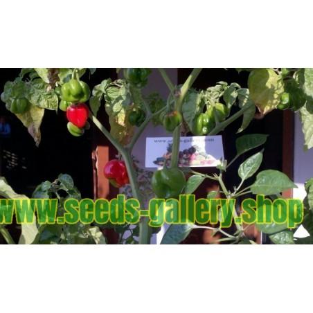 Sementes de Pimenta Habanero Senegal