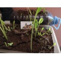 Turkey Berry - Pea Eggplant Seeds (Solanum torvum)