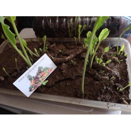 Meerrettich-Wurzel / Sämlinge bereit zum Pflanzen 3.25 - 4