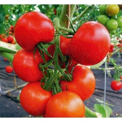 Tomatfrön Novosadski Jabucar 50 frön 1.5 - 2