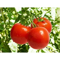 Graines de Tomate Novosadski Jabucar 50 graines 1.5 - 3