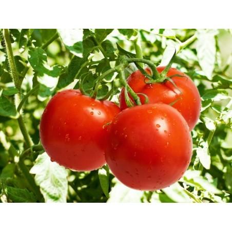 Ντομάτα σπόροι 50 σπόροι 1.5 - 3