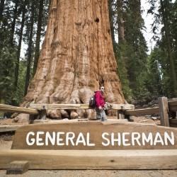 Sementes de Sequoia-gigante...