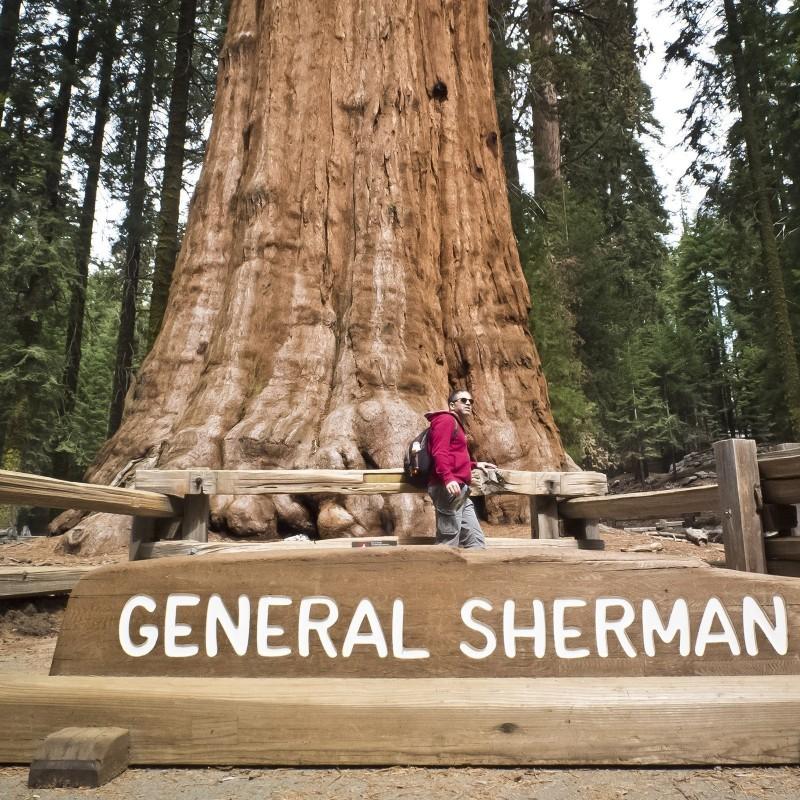 Sementes de Sequoia-gigante Bonsai 2.35 - 5