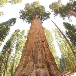 Semi di Sequoia Gigante Bonsai 2.35 - 1
