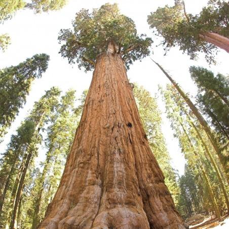 Giant Sequoia Seeds Bonsai 2.35 - 1
