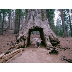 Sementes de Sequoia-gigante Bonsai 2.35 - 2