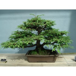 Sementes de Sequoia-gigante Bonsai 2.35 - 3