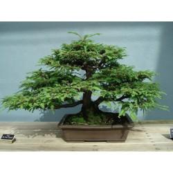 Semi di Sequoia Gigante Bonsai 2.35 - 3