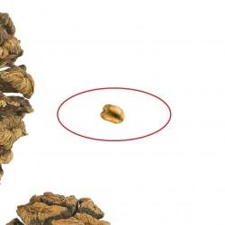 Σεκοϊάδενδρο το γιγαντιαίο σπόροι 2.35 - 4