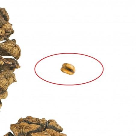 Sekvoja Seme (Sequoiadendron giganteum) 2.35 - 4
