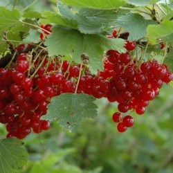 Redcurrant Seeds (Ribes rubrum) 1.95 - 3